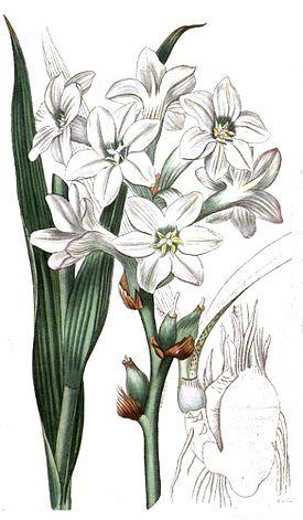 Ботаническая иллюстрация из журнала «Curtis's Botanical Magazine» 1817 года