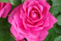 4317-rosa-x-centifolia_1