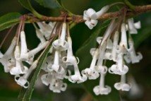 osmanthus_flower_absolute