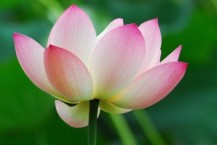 pink_lotus_absolute