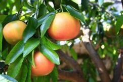 grapefruit-jeuk-bali-merah