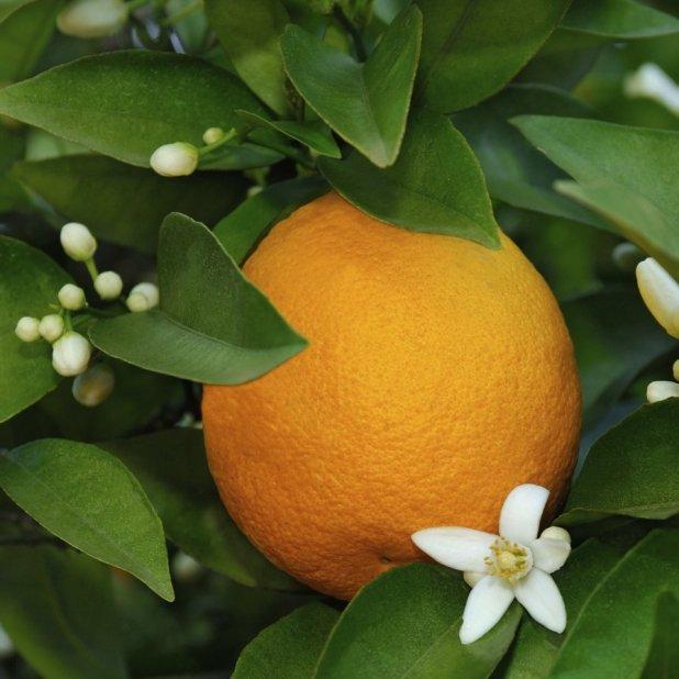 Orangenblüten und Orange am Strauch