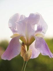 Цветок Iris Pallida. Фото Pavle Cikovac.