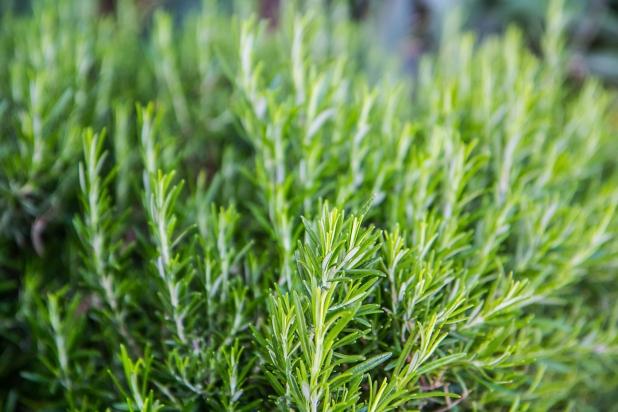 трава Розмарина