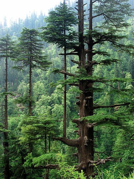devdar tree
