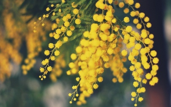 acacia-dealbata-mimosa-flowers-yellow-focus-hd-wallpaper